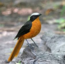 White Crowned Robin Chat Cossypha Albicapilla