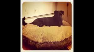 Kirkland Dog Beds by Kirkland Dog Bed For Sale Youtube