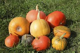 Atlantic Giant Pumpkin Growing Tips by Growing Different Kinds Of Pumpkins U2013 Popular Mini And Giant