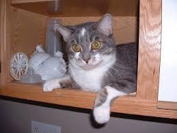 fatty liver cats feline hepatic lipidosis fatty liver disease in cats pethelpful