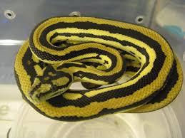 Coastal Carpet Python Facts by 35 Best Carpet Pythons Images On Pinterest Python Carpets And