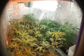 kit chambre de culture cannabis tutos quel kit éclairage choisir