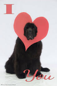 Do Newfoundlands Shed Hair by 112 Best Newfies Images On Pinterest Big Dogs Newfoundland