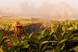 Visit One Of Vinales Tobacco Plantations And You Can See First Hand How Cubas