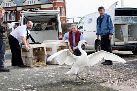 Swans Rescued In Southport - Liverpool Echo Police Florida Man Kicks Swans Sleeping Duck While Practicing Swan Hill Fire Controlled The Guardian Toyota Hilux Animal Ambulance Carries Precious Cargo Uk Creek Landscaping Crew Our Fleet Equipment Pinterest Trumpeter Invade Valley Environmental Jhnewsandguidecom Schwans Company Wikipedia Blackburnnewscom Swans Found Dead At Luther Marsh 311216 Birdlog Frodsham Birdblog Tyreswanorama Car Wrecker Valley Perth Cash For Cars Removal Suburbs Rescue Southport Visiter