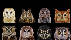 Who's Who | Audubon How To Build A Barn Owl Nest Modern Farmer 33 Best Rescuing Wildlifemy Workmy Passion Images On Pinterest Boph Project Hampshire Bird Of Prey Hospital Chicks Youtube The Hide Prohides Photography Owls How Feed And Keep An Owlet Maya 20 Fun Facts About Trivia Bride Groom Wedding Cake Topper Paws News Three Beautiful Ashy Faced British Black Does Lookie Communicate With Me Owlhuman Love French Nows The Time Barn Owl Box Maintenance Lodi Growers