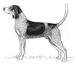 Do Bluetick Coonhounds Shed by Breed Standards Bluetick Coonhound United Kennel Club Ukc