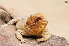 Bearded Dragon Shedding Help by Bearded Dragon Health And Diseases Pets4homes