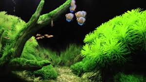 Digital Aquariums In Our Livingroom - YouTube The Green Machine Aquascaping Shop Aquarium Plants Supplies Photo Collection Aquascape 219 Wallpaper F Amp 252r Of The Month October 2009 Little Hill Wallpapers Aquarium Beautify Your Home With Unique Designs Design Layout New Suitable Plants Aquariums Pinterest Pics Truly Inspired Kinds Ornamental Aquascaping Martino Agostini Timelapse Larbre En Mousse Hd Youtube Beauty Of Inside Water Garden Inspirationseekcom Grass Flowers Beautiful Background