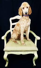 Petco Dog Shedding Blade by 59 Best Poodles Images On Pinterest Standard Poodles Poodle