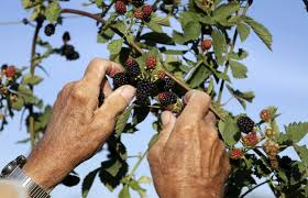 Owasso Christmas Tree Blackberry Farm by Blackberry Picking Easier With New Trellis System Food