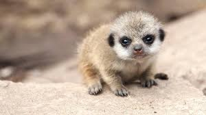 Young Meerkats Are So Fearful Of Birds Prey That Even Airplanes Will Scare Them Into Their Holes Adults Take Turns Watching For Predators On The African