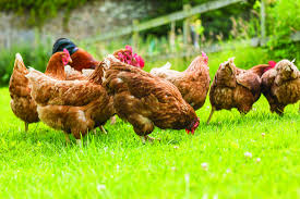 Backyard Chickens Linked To Michigan Salmonella Outbreak | News ... The 25 Best Salmonella Symptoms Ideas On Pinterest Memes True Pharmacologist Warns That Eggs From Backyard Chickens Pose Chicken Chick Salpingitis Lash Eggs In Backyard Chickens Raising Chickenswhat You Need To Know Penn State Food Safety Blog And The Higher Risk Health Concerns When Tending Tahoetruckee Nationwide Salmonella Outbreak Linked Pet Makes 611 Sick Nbc News Outbreaks 47 States How Not Get Your Chicken
