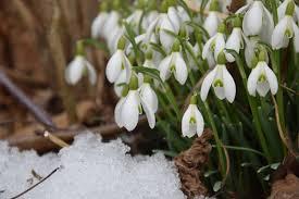 galanthus elwesii snowdrops dutchgrown