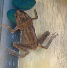 Do Aquatic Dwarf Frogs Shed Their Skin by Faqs About African Dwarf Frogs Foods Feeding Nutrition