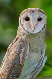 36 Best THE MAJESTIC OWL Images On Pinterest | Owls, Barn Owls And ... 3716 Best All About Owls Images On Pinterest Barn Owls Nature Winter Birding Guide Lake Champlain Region 53 Flight At Night Owl Species Farm House England Stock Photos Images 1538 Owls Photos Beautiful Birds 2552 Give A Hoot Children Large White Carraig Donn Mayo Sghilliard Glass Studio Little Opens In Westport Food Drink Nnecticutmagcom 250 Love You Always