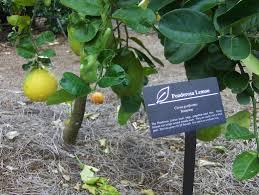 container lemon trees growing a lemon tree in a pot