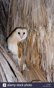 Barn Owl (Tyto Alba) On A Palm Tree At Night, Hefer Valley, Israel ... Barn Owl Perching On A Tree Stump Facing Forward Stock Photo The Owls Of Australia Australian Geographic Audubon Field Guide Beautiful Perched 275234486 Barred Owl Vs Barn Hollybeth Organics Luxury Skin Care Why You Want Buddies Coast News Group Sleeping By Day Picture And Sitting Venezuela 77669470 Shutterstock Rescue Building Awareness Providing Escapes And Photography Owls Owlets At Charlecote Park Barnaby The Ohio Wildlife Center