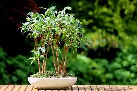 ficus benjamini zum bonsai erziehen so wird s gemacht
