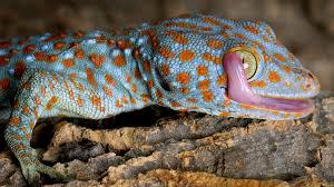 Crested Gecko Shedding Behavior by Ww Reptiles Tokay Gecko Ngsversion 1461604316581 Adapt 1900 1 Jpg