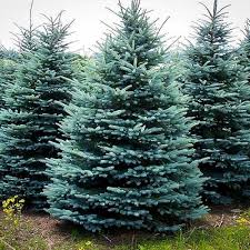 Silvertip Fir Christmas Tree by Pricing For Richardson Adventure Farm In Spring Grove Illinois