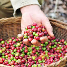 Cubans Finish Off Their Harvesting Season By Handpicking The Coffee Beans This Is Quite An Amazing Feat Considering That Most Of Crops Grow On