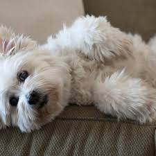 top 3 small dogs that don t shed too much dogsarena com dog breeds