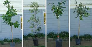 Plantable Christmas Trees Nj by How To Choose A Living Tree To Replant After Christmas Inhabitat
