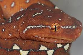 Corn Snake Shedding Too Often by Neonate Husbandry Southern Chondros