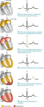 185 Pacemaker Cells Trigger Action Potentials Throughout The Heart Human Anatomy And Physiology