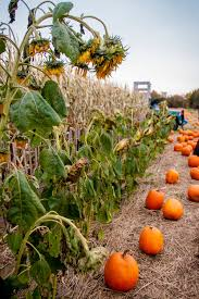 Pumpkin Patch Ct 2015 by Fall 2015 Connecticut U2014 Elise Grinstead