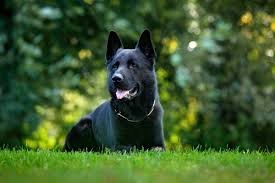 Low Shedding Big Dogs by 7 Things You Didn U0027t Know About The Black German Shepherd Animalso