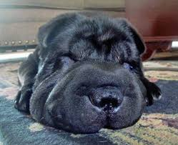Do Mini Shar Peis Shed by Shar Pei Dog Breed Information And Pictures