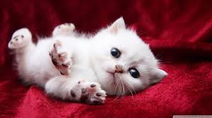 kitty cat 18 adorable kitty cat wallpapers androidguys