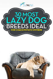 Non Shed Dog Breeds Large by 30 Most Lazy Dog Breeds Perfect For A Couch Potato Owner