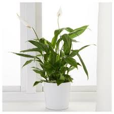 1 das einblatt easy care plants plants peace