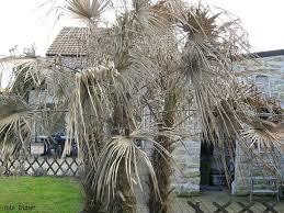 s o s palmiers toutes les infos sur les maladies la palmeraie fr