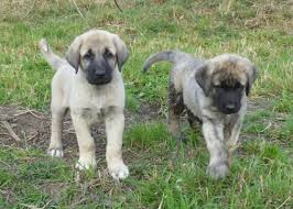 No Shed Dog Breeds Large by Anatolian Shepherd Dog
