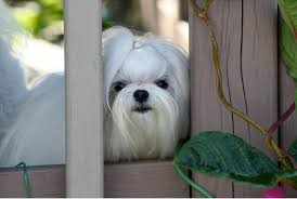 Small Dogs That Dont Shed Uk by 28 Small Dogs That Dont Shed Uk Goodbye Hair 23 Dogs That