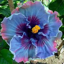 real new arrival indoor plants flower seeds hibiscus