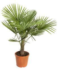 prix des palmiers exterieur pot plante exterieur pas cher photos de conception de maison