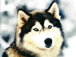 Do Bullmastiffs Shed A Lot by Do Do Siberian Huskies Shed U2022 Bunkblog