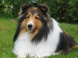 shetland sheepdog facts pictures price and training dog breeds