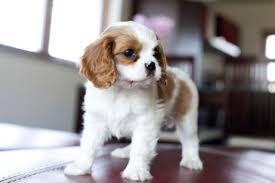 Non Shedding Dog Breeds Small by Dog Breeds That Don U0027t Bark Or Shed Animals Pinterest Dog