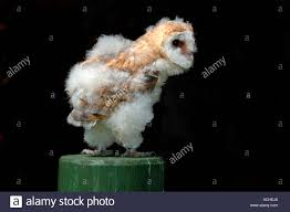 7 Week Old Barn Owl Stock Photo, Royalty Free Image: 7520167 - Alamy Standing Twelve Weekold Barn Owl Side View Stock Photo Getty Images Boxes South Downs National Park Authority Old Man Of Minsmere Aka John Richardson Gorgeous Birds In Folklore Owls And Ravens Randomdescent Orbit The 5 Weekold Baby Who Has Been Hand Ared By Owl Wikipedia Coda Falconry On Twitter Our 7 Week Old Barn Was Bred At Dont Go Deaf New Zealand Geographic Australian Masked Rescuing Owls Tropic Wonder Audubon Art Print Vintage Nature Bird Eyfs Blog Archive Wise