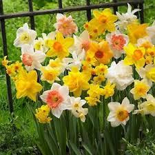 3kg mixed cornish daffodil bulbs approx 80 flowers early