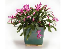 Types Of Christmas Trees To Plant by Christmas Cactus Care Hgtv