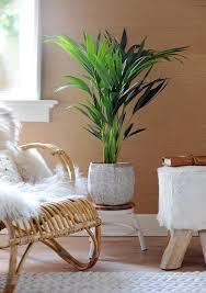 palmen als zimmerpflanzen die schönsten arten das haus