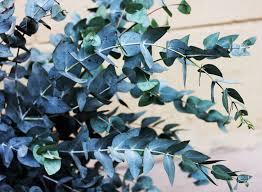 eukalyptus auf dem balkon halten so pflegen sie ihn richtig
