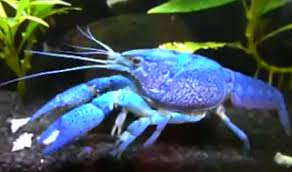 Decorator Crab Tank Mates by All About Aquarium Fish Crayfish Info How To Care What To Feed